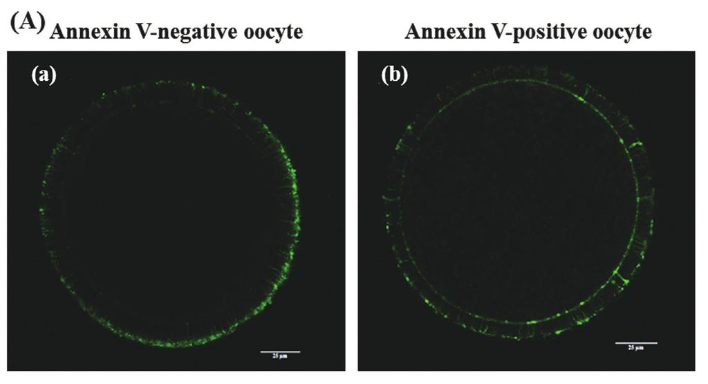 Figure 6. Effect of epigallocatechin-3-gallate (EGCG) on the early apoptosis of mature bovine oocytes.