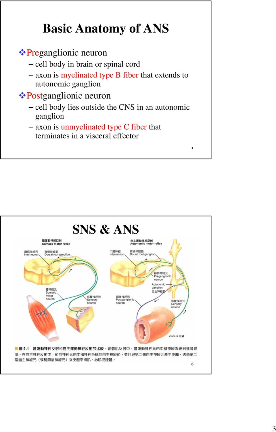 Postganglionic neuron cell body lies outside the CNS in an autonomic ganglion