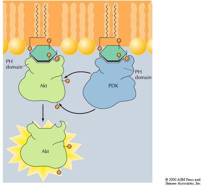 PDK is phosphoinositol dependent