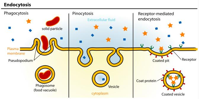 From vascular space to interstitial space Endocytosis