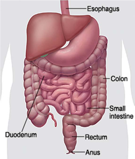 Gastrointestinal protein metabolism Major site, due to high proteolytic enzyme activity Mostly for orally administrated drugs Parental drugs