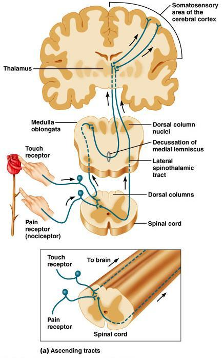 Ascending Tracts Figure 9.10 Pathway of selected ascending and descending tracts. (a) The dorsal column and lateral spinothalamic tracts.