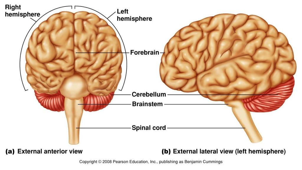 External View of Divisions of the Brain Figure 9.11 The brain.