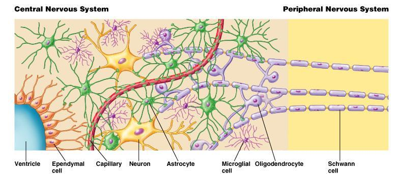 Glial Cells 中樞神經系統 Copyright 2008 Pearson Education, Inc., publishing as Benjamin Cummings.