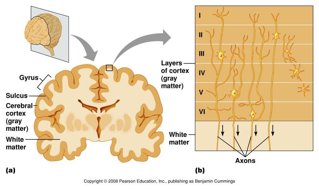 Cerebral Cortex Figure 9.12 Organization of the cerebral cortex. (a) Convolutions of the cerebral cortex. (b) Layers of the cerebral cortex.