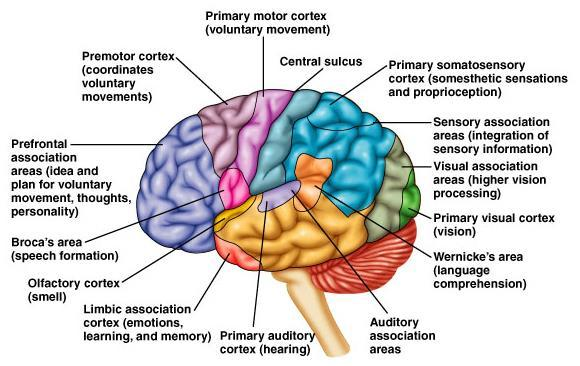Functional Areas of the Cerebrum Copyright 2008 Pearson Education, Inc., publishing as Benjamin Cummings. Figure 9.