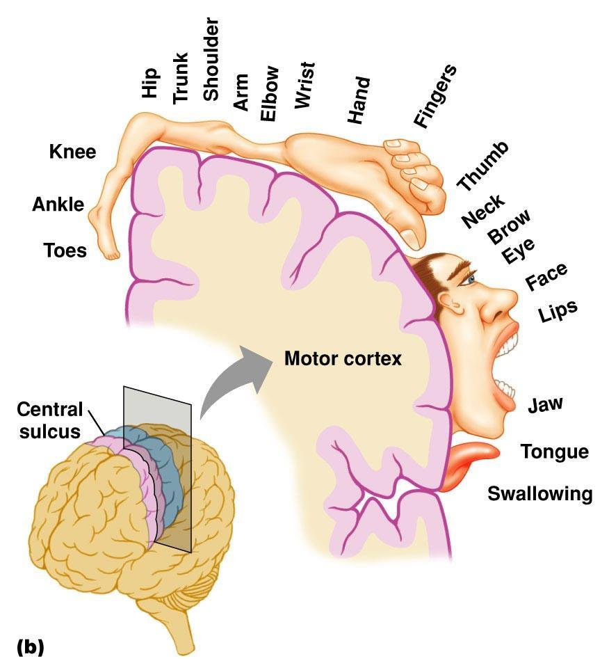 central sulcus, and the corresponding somatotopic map of body parts.
