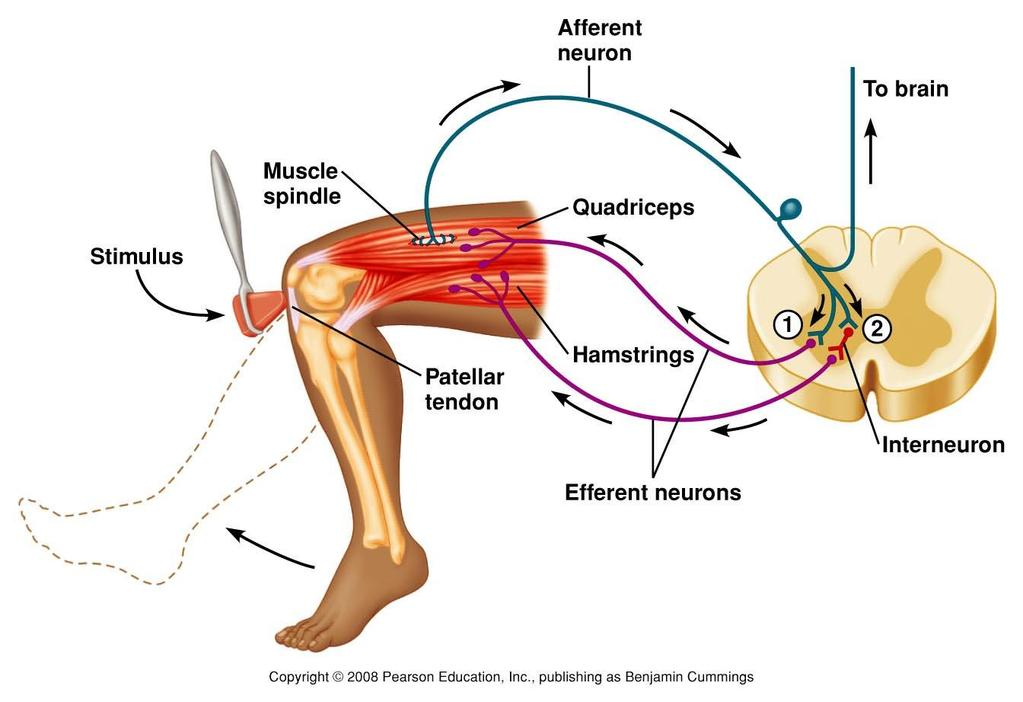 Stretch Reflex Figure 9.19 The muscle spindle stretch reflex.
