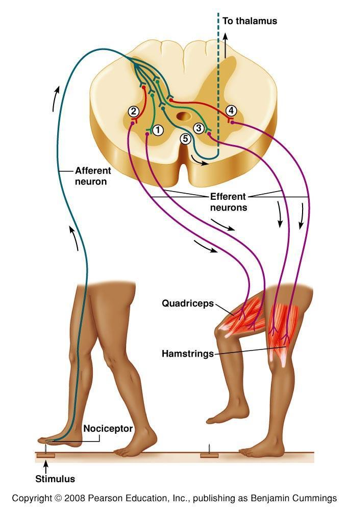 Withdrawal & Crossed- Extensor Reflexes Figure 9.20 Withdrawal and crossextensor reflexes.
