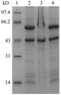 458 ISSN1-361 CN11-1998/Q Chin J Biotech March 25, 28 Vol.24 No.3,, TB1, BL21 trxb(de3) TB1 MBP-BMP6 4 72 h SDS-PAGE, ( 11), MBP-BMP6, BL21trxB(DE3), 4 2.