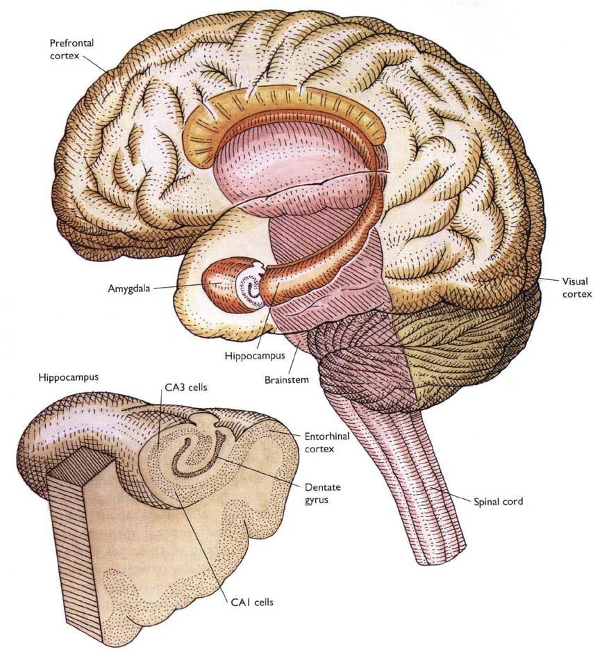 Functions of Limbic system Memory