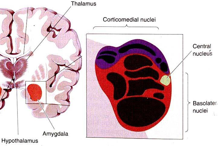 AMYGDALA: division / nuclei Dorsal (corticomedial nuclei)
