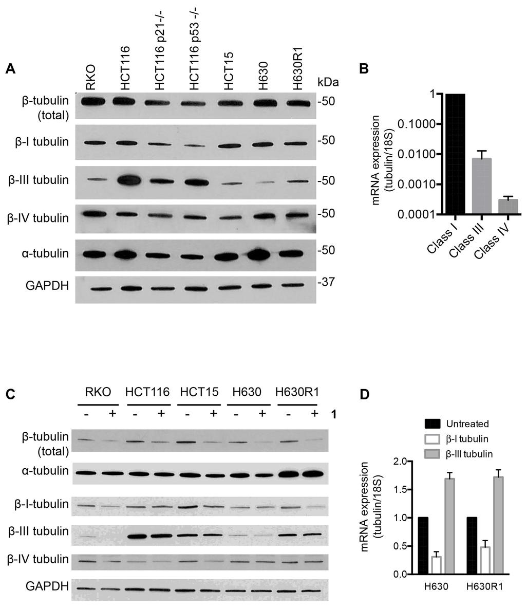 Figure 4: Basal tubulin protein expression in human colorectal cancer cell lines. A. Immunoblot analysis of β-tubulin isotypes. B. Basal mrna expression of β-tubulin isotypes in H630 cells. C.
